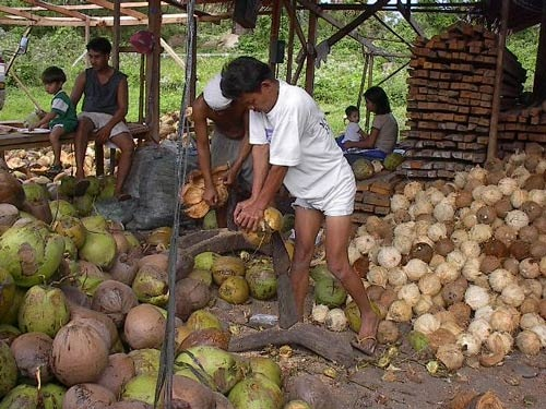 Dehusking coconuts before making virgin coconut oil picture