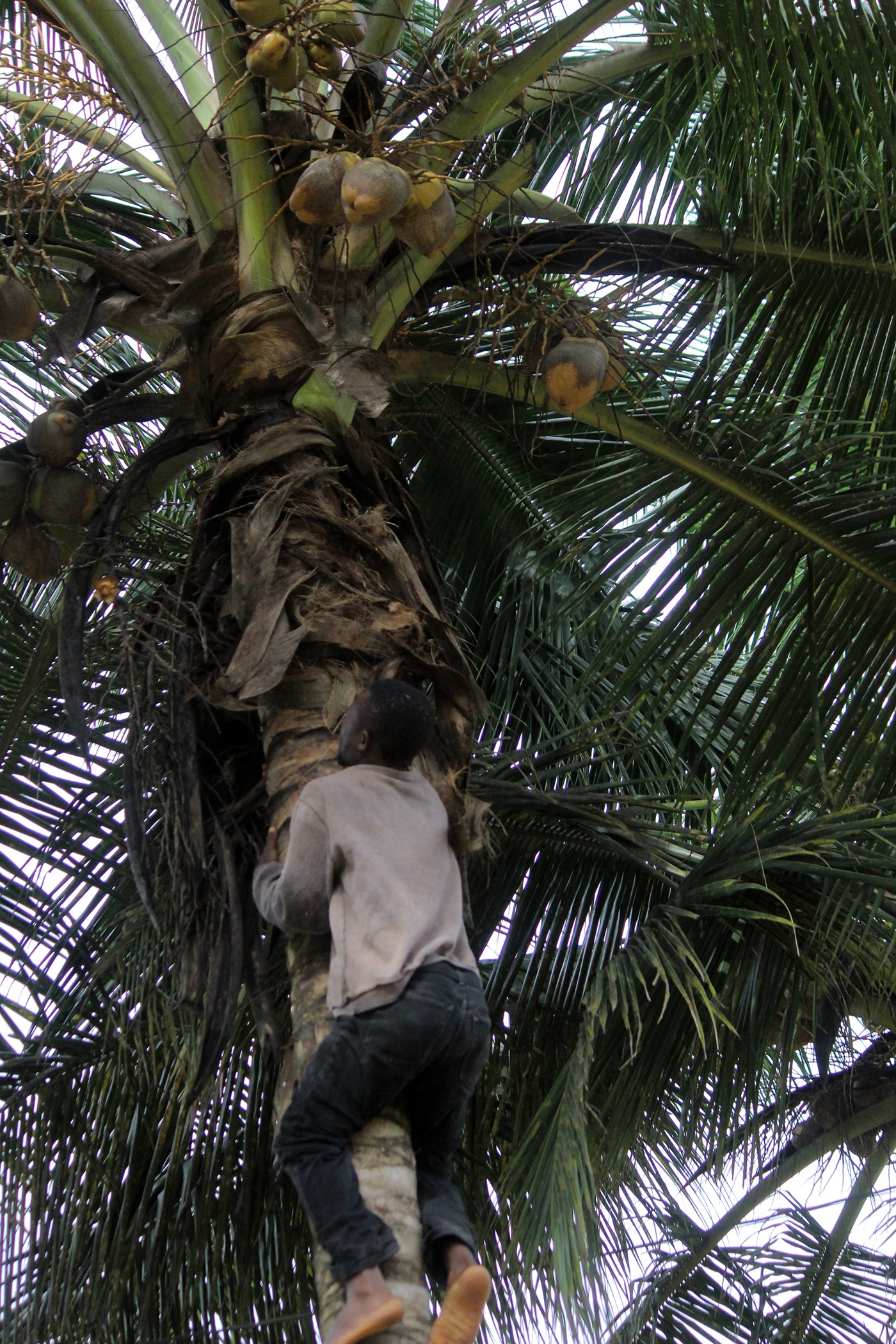 Coconut-Palm-trees-Liberia